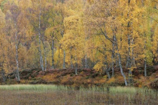 Autumnal birchwood, Craigellachie NNR.